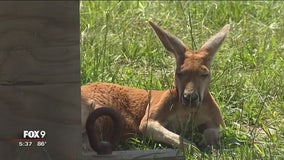 'Kangaroo Crossing' exhibit opens at Minnesota Zoo