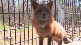 Lakeville woman in dispute with city over fox sanctuary