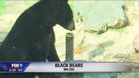 BEAR WEEK: Keeping the bears at the Minnesota Zoo active
