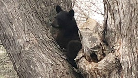 Police warn of bear sightings in Woodbury, Minnesota