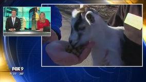Minnesota Zoo's Farm Babies: Goats