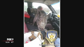 Deputy discovers man driving with pig on his lap