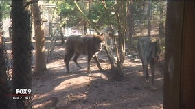 Minnesota Zoo's wolf pack