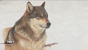 WOLF WEEK: Ely's International Wolf Center teaches Minnesotans about wolves