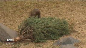 Old Christmas trees serve purpose at Minnesota Zoo