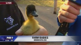 Minnesota Zoo's Farm Babies
