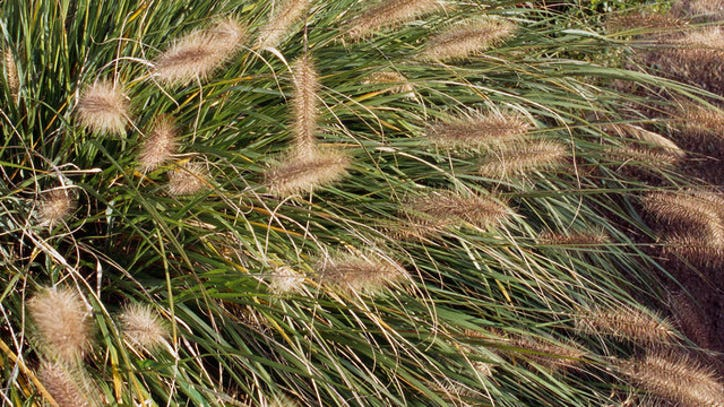 Foxtail Grass Can Be Fatal: Keep Your Dog Away