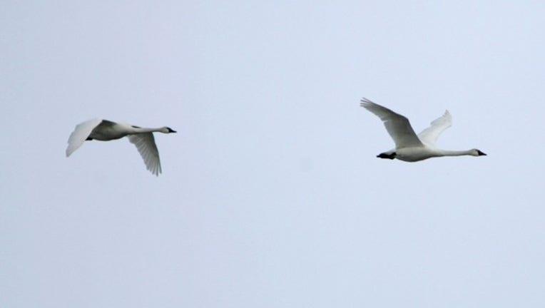 03493b39-Trumpeter Swan.jpg