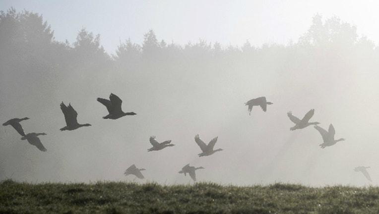 geese_GETTY_1517617277123.jpg