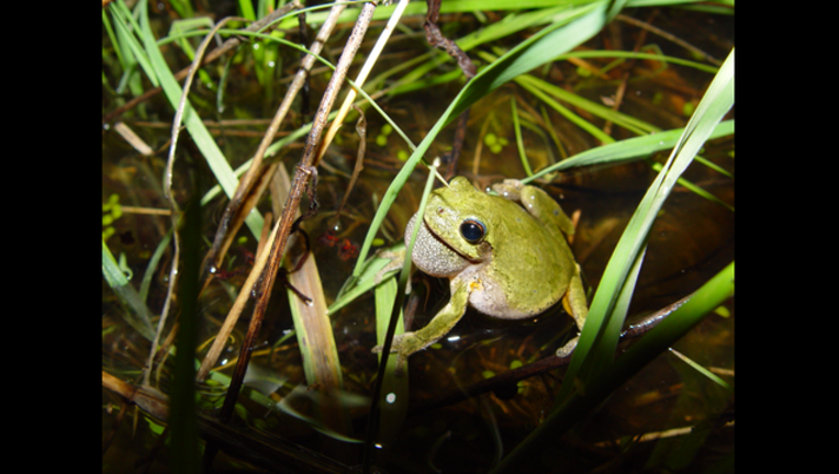 mn-dnr-frog_1490029598182.png