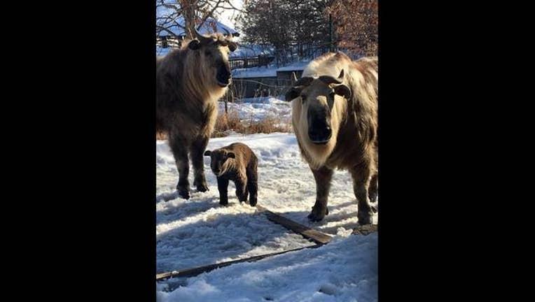 196e2c05-Minnesota Zoo takin calf_1520373257802.jpg.jpg