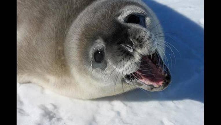 1c6b597e-weddell seal u of m_1492125350545.jpg