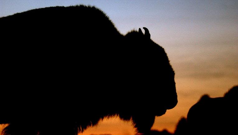 21c99afc-GETTY bison_1559061795199.jpg.jpg