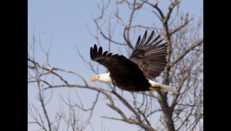2c06f161-Bald-eagle_govdelivery-300x223_1479844871174.jpg
