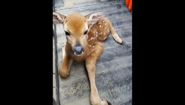 deer fawn dakota county sheriffs office_1494350845285.jpg