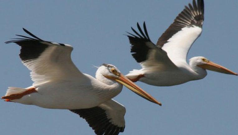 pelican_DNR_1555358598075.jpg