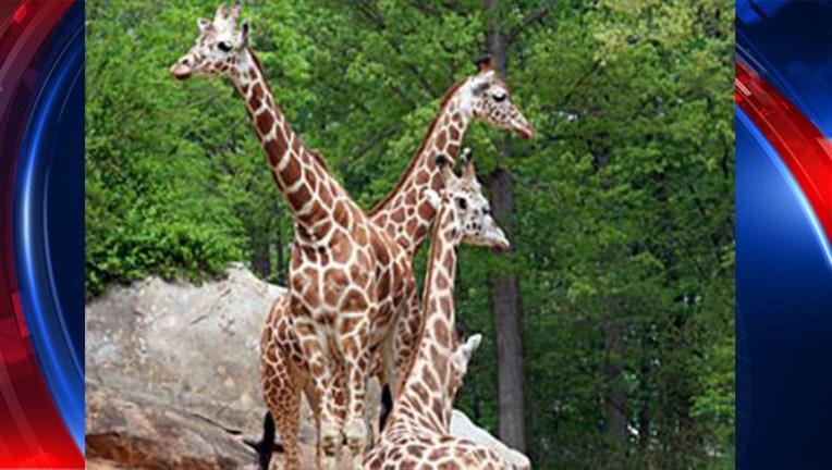 58936647-NC giraffe_1488939181020-403440.JPG