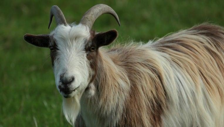 goat-horns_1482240336558-404023.jpg