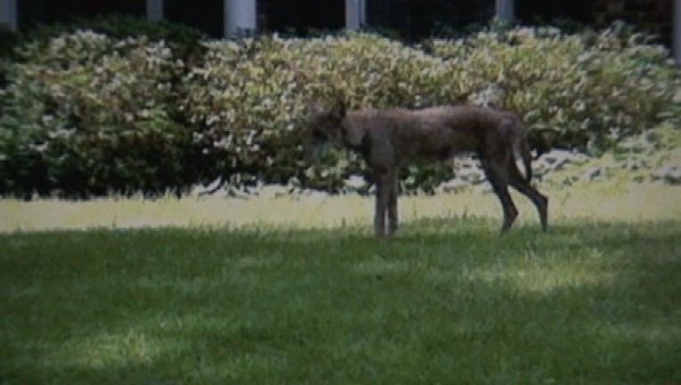 6a669879-coyote_1439576369823.jpg