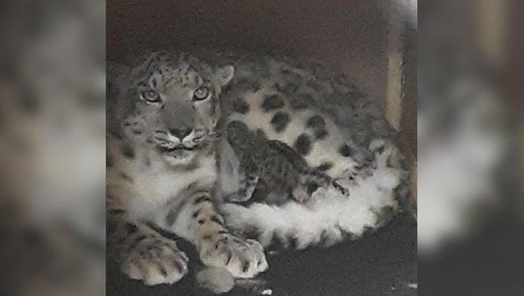 Como Zoo snow leopard_1556814988400.jpg.jpg