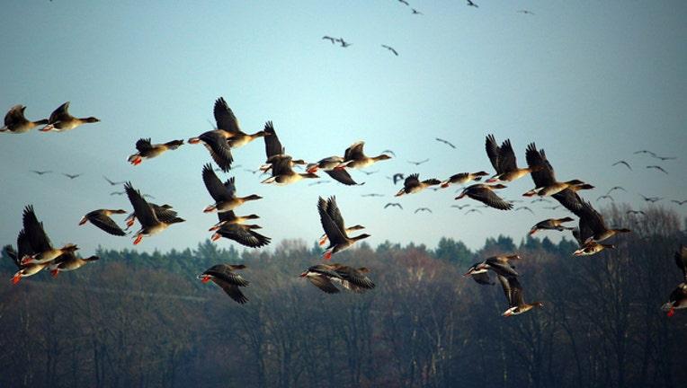 Wild Geese Goose_1517606529734-401720.jpg