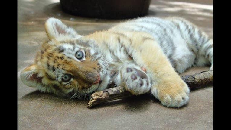 a307da2a-Amur tiger cub_Minnesota Zoo_1501016676092.jpg