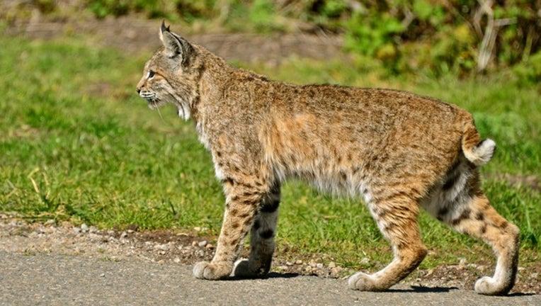 Bobcat stock photo by Linda Tanner via Flickr-404023
