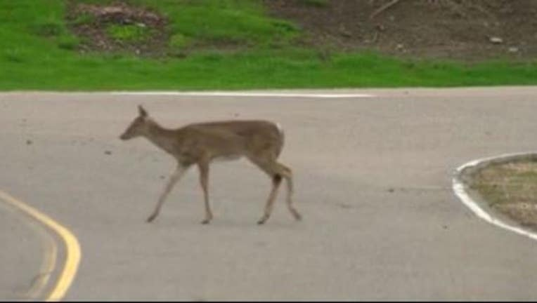 deer in road_1507299948183.JPG