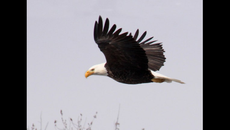 afc0fdb8-Bald eagle full flight looking down. IMG_7387_1488823047971.jpg