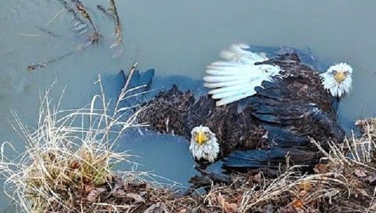 baff8334-PA Game Commission Eagles Rescued-401096