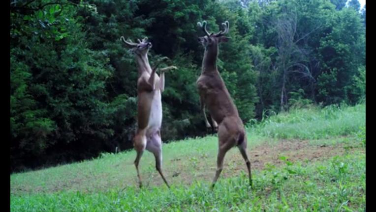 deer brawl_1498164013631-403440.PNG