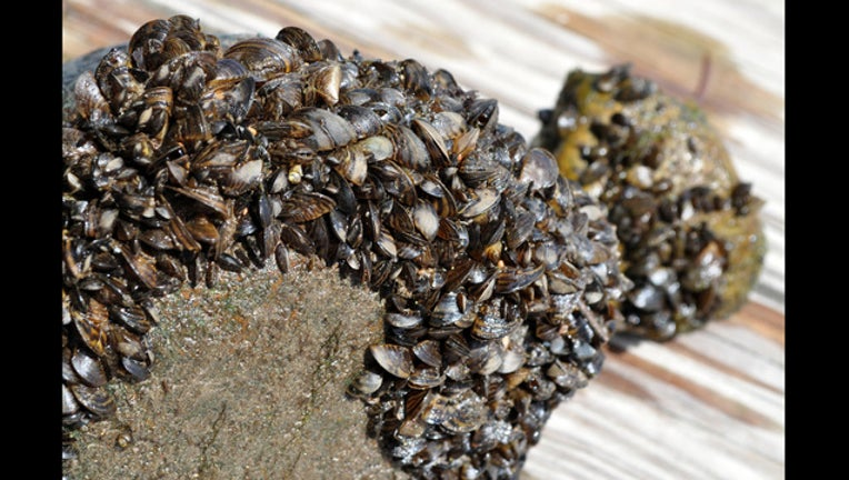 Zebra mussels_1499891485155.jpg