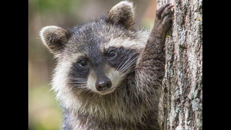 f3765bc2-Raccoon