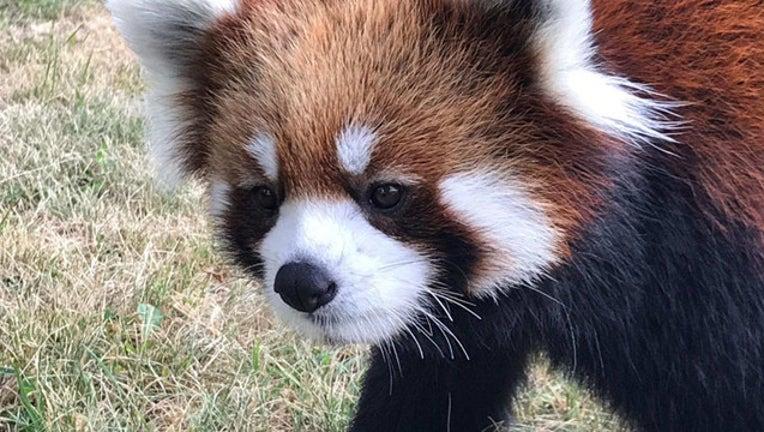 f6742994-red panda_Red River Zoo_1558146213914.jpg.jpg
