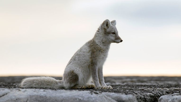 f7666e26-GETTY arctic fox _1562157113362.jpg.jpg
