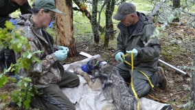 New wolf released on Isle Royale, bringing wolf population up to 15