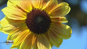 Thousands flock to Minnesota couple's sunflower farm for whimsy, bliss