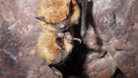MDH: Rabid bat found in downtown Minneapolis