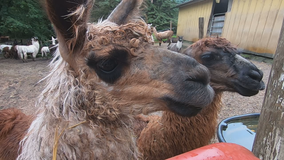 'It's been so rewarding': Retiring llama farm owner leaves impact on 4-H program