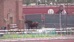 Moose found wandering around UND's football stadium
