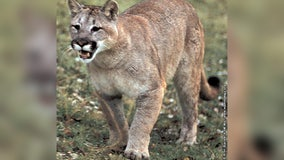 Possible cougar sighting in Dodge County, Minnesota