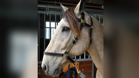 Minneapolis Mounted Patrol mourns loss of police horse Diego