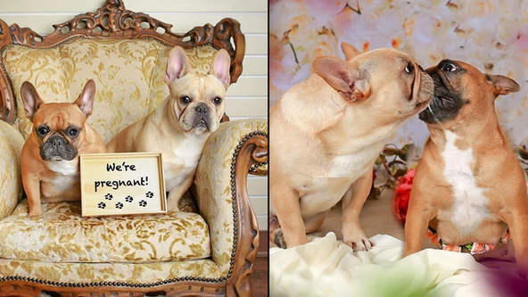 French bulldogs pose for adorable maternity photo shoot