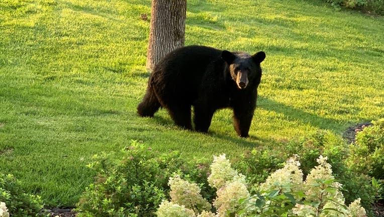 Black bear sighted in North Oaks, Minnesota