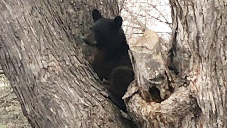 c1297f4f-Bear in tree