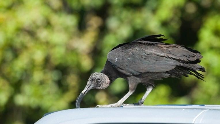 GETTY Vulture in Florida-404023