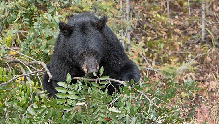 GETTY black bear_1566230870522.jpg.jpg