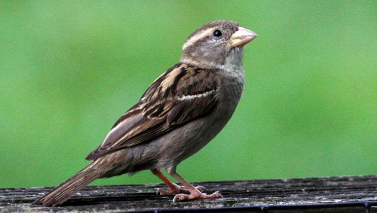 Bird watching at Rock Creek Park, Smithsonian National Zoological Park. A common house sparrow.