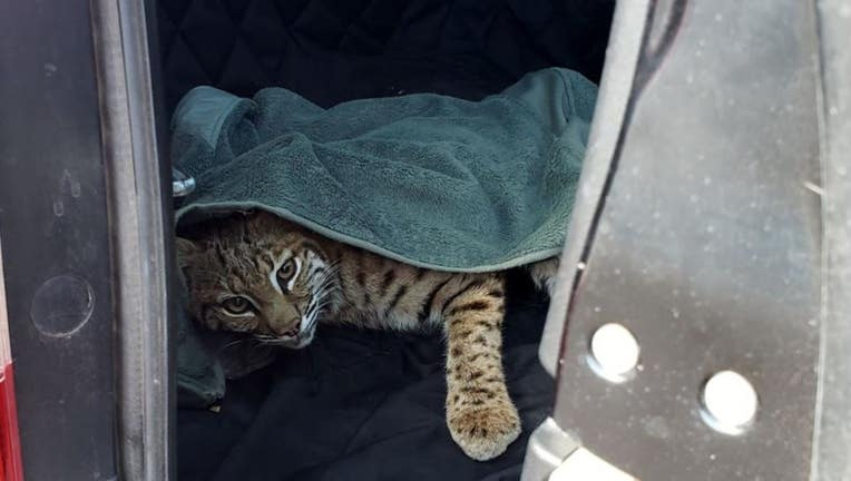Colorado Parks and Wildlife spokesman Bill Vogrin says the woman spotted the injured adult male cat while driving, wrapped it in a blanket and put it in the back of her SUV on Sept. 18, 2019.