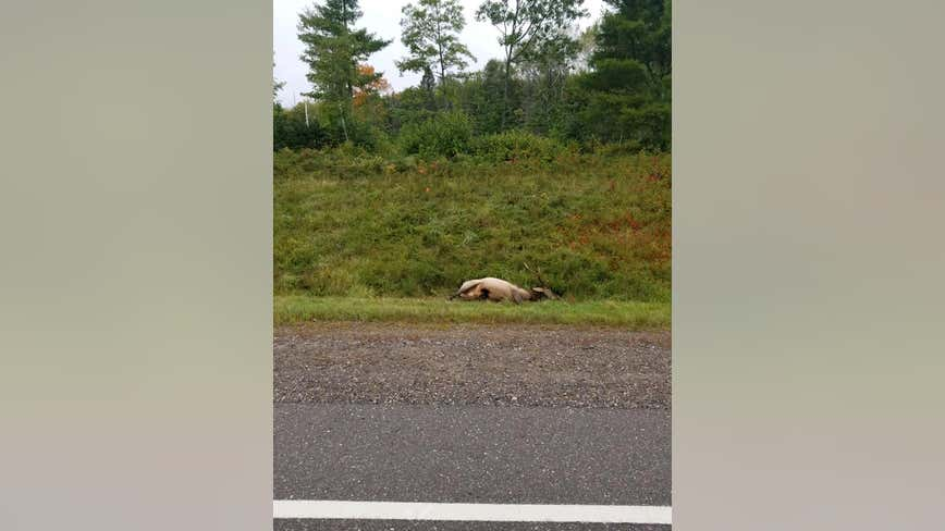 Sheriff: Elk illegally shot, killed along northwestern Wisconsin highway